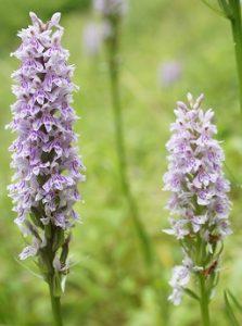 Northern marsh orchid Dactylorhiza purpurella UK native outdoor orchid