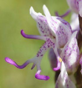 Monkey orchid